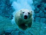 **White** - Oso polar