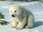 petit ours blanc - Oso polar Macho (2 meses)