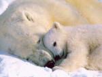 ours polaire calinou - Oso polar