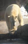 tinours - Oso polar Macho (2 años)