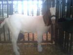 Cabra - Macho (2 años)