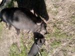 Cerdo - Macho (2 años)