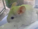 Chinchilla - Macho (1 año)