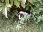 Conejillo de Indias de pelo risado - (5 años)