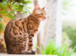 Un chat Bengal assis au soleil