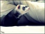 Hurón - (4 años)