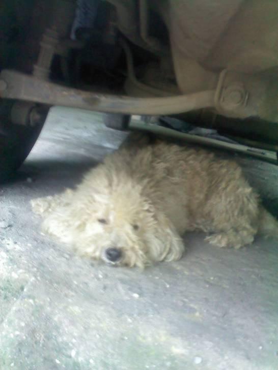 Perro Terry - Macho (5 meses)
