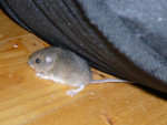 Ratón - (1 mes)