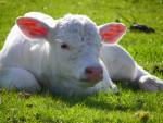 Vaca - (3 meses)