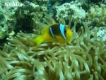 Nemo - Macho (1 mes)